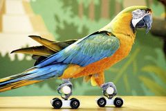 Rollerskating Parrot Royalty Free Stock Images