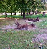 Rolling bison. Bison rolling in the dirt (bison bonasus) in Poland Royalty Free Stock Photo