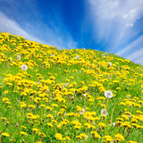 Rolling dandelion meadow Royalty Free Stock Photo