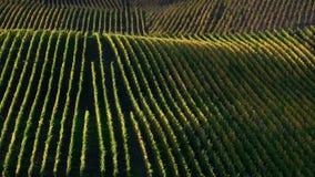 Rolling die helling in rijen van wijngaarden tijdens zonsondergang wordt behandeld stock afbeelding