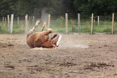 Rolling in the dirt. This draft horse rolls in the dusty dirt in his pen to discourage the annoying horse flies Royalty Free Stock Image