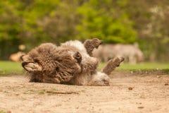Rolling Donkey Stock Image