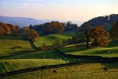 Rolling English countryside in Autumn. Typical English rural scene with rolling countryside and grazing sheep with Autumn colours Royalty Free Stock Images