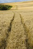 Cornfields on Lancing Down in East Sussex, England. Rolling farmland with golden crops on the south downs of East Sussex stock photography