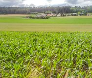 Rolling field of corn leading to farm house and village, blue sky and clouds over the forest in the background Royalty Free Stock Images