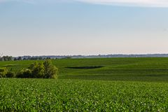 Rolling field of Young corn farm somewhere in Omaha Nebraska. Beautiful blue sky stock photo