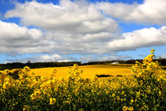 Rolling fields of oil seed. Rolling fields of yellow oil seed reaching to the horizon and rolling clouds in blue skies with white house set in woodland stock image