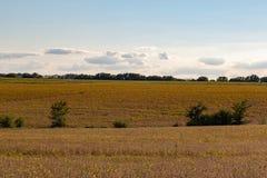 Rolling gebied van Rijpe Sojabonen klaar voor oogst stock foto's