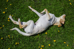 Rolling in the grass. Golden dog rolling in the grass and dandelion Royalty Free Stock Images