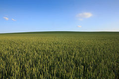 Rolling green wheat field with clear blue sky Royalty Free Stock Photo