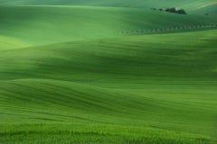 Rolling heuvels met gebieden van tarwe en bomen Het verbazende landschap van de fee minimalistic lente met groene grasgebieden Stock Afbeeldingen