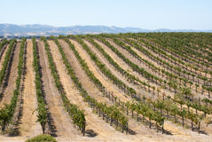 Rolling hill of California grapevines stock photography