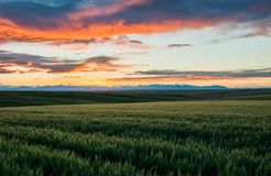 Rolling Hills av vetefält royaltyfri bild