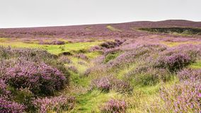 Scottish Lowlands Panorama with expansive purple heather royalty free stock photography