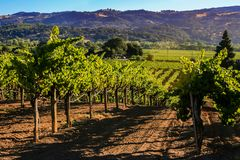 Rolling hills of California vineyards. Vineyards on the beautiful rolling hills near Alexander Valley California royalty free stock images