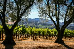 Rolling hills of California vineyards. Vineyards on the beautiful rolling hills near Alexander Valley California royalty free stock image