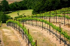 Rolling hills of California vineyards. Vineyards on the beautiful rolling hills near Alexander Valley California royalty free stock photo