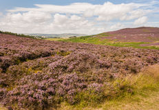 Rolling hills with purple heather flowers Stock Photo