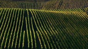 Rolling hillside covered in rows of vineyards during sunset stock image