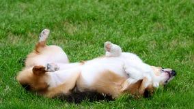 Rolling hond Royalty-vrije Stock Fotografie
