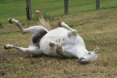 Rolling Horse. A horse rolling over in the grass Stock Photos