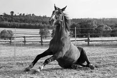 Rolling horse. Black and white photo of horse rolling around paddock Stock Images