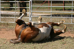 Rolling Horse. Paint stallion rolling and scratching his back, all four feet in the air, laying in dirt and grass in corral in morning sunshine, dust flying Stock Photography