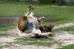 Rolling Horse. Horse rolling on the ground Stock Image