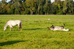 Rolling horses. In the pasture Stock Photography