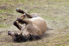 Rolling Konik Stock Photos