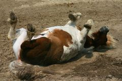 Rolling pony. A piebald shetland pony rolling in the dirt stock photography