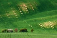 Rolling sunny hills with fields and blossom apple trees suitable stock image