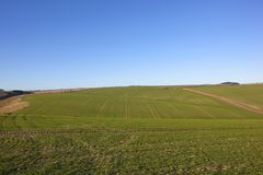 Rolling wheat fields under blue sky in winter. Rolling wheat fields in winter with lines and patterns in the chalky soil under a clear blue sky in the yorkshire Stock Photos