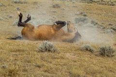 Rolling Wild Horse. Wild Mustang Rolling On Its Back, McCullough Peaks Wild Horse Herd Management Area, Wyoming Royalty Free Stock Images