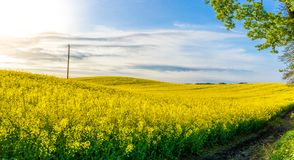Rolling Yellow seed field in morning spring sunshine stock images