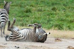 Rolling Zebra Stock Foto's