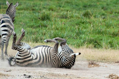 Rolling Zebra. Zebra rolling in the dirt inside of the Amboseli national park in Kenya Stock Photos