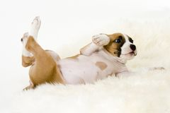 Rollover. Puppy rollover royalty free stock photography