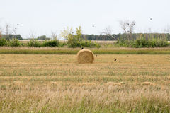 Rolls av hö som ligger i fältet Royaltyfria Foton