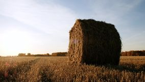 Rolls haystacks straw on field, harvesting wheat. Rural field with bales of hay. Landscape stock video