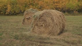 Hay rolls in the fall. Rolls of ready hay against the background of the wood stock video