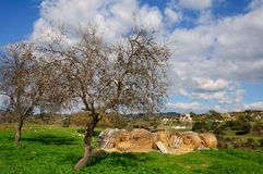 The rolls of straw under an almond tree Royalty Free Stock Photo