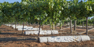 Rolls of White Vine Covers Under Vines. Royalty Free Stock Photo