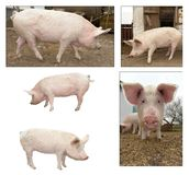 rolna świnia Obrazy Royalty Free
