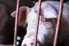 Rolna świnia, chodzi w sty, spojrzenie lubi smutny, może iść outsid ` t Obrazy Royalty Free
