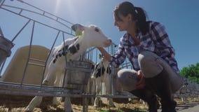 Rolna dziewczyna migdali małej łydki za ogrodzeniem zdjęcie wideo
