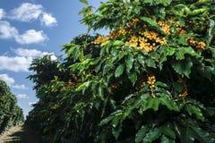 Rolna kawowa plantacja w Brazylia obrazy stock