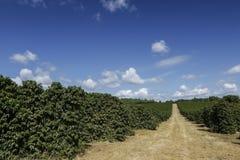 Rolna kawowa plantacja w Brazylia obraz royalty free