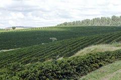 Rolna kawowa plantacja w Brazylia zdjęcie stock