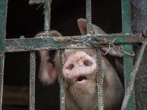 Rolna świnia Obraz Stock